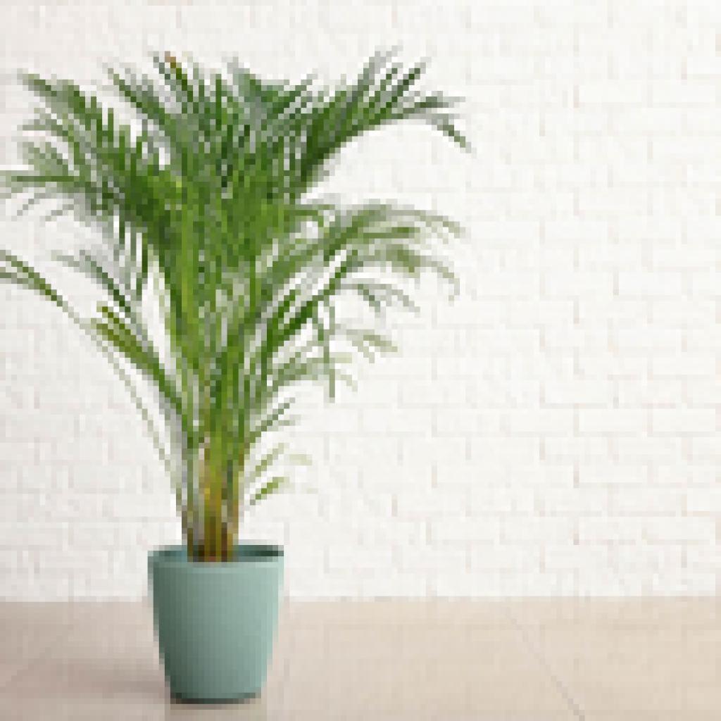 acreca plant