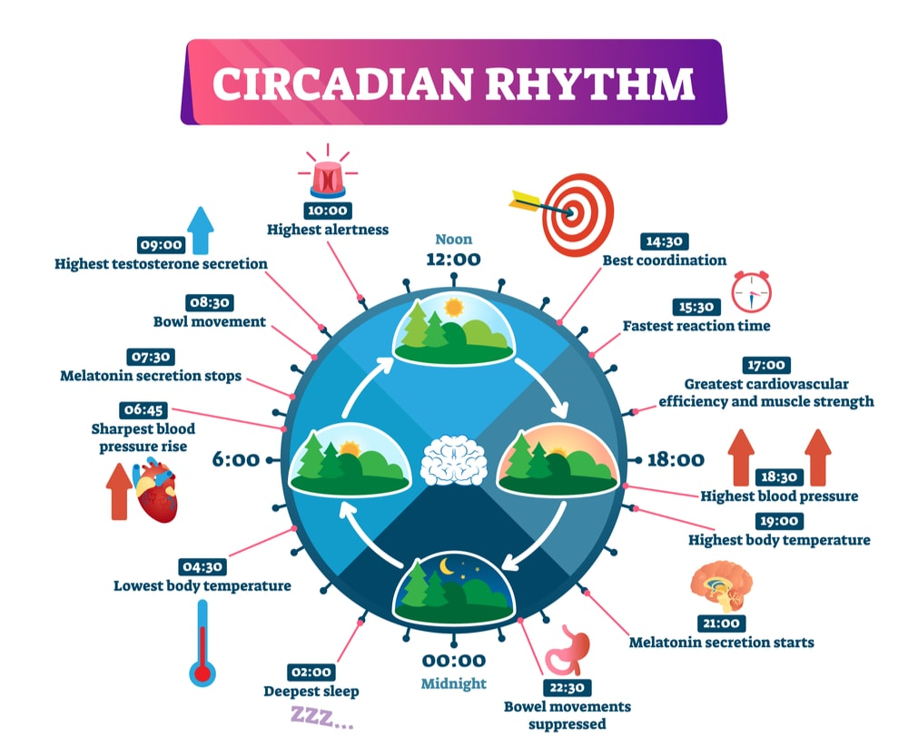 circadian rhythm explained